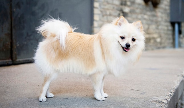 Pomeranians dog