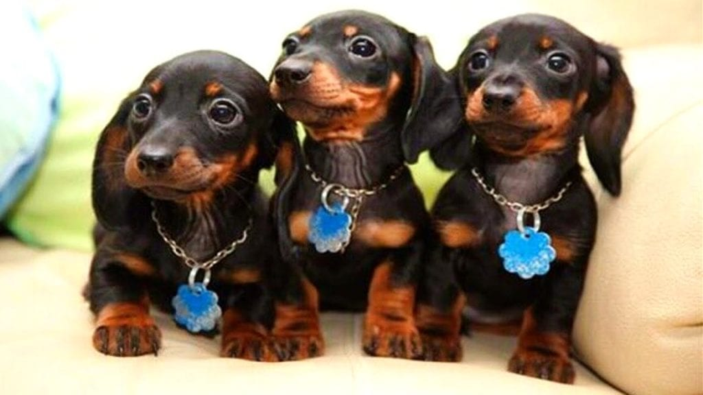 dachshund - medium sized low maintenance dogs