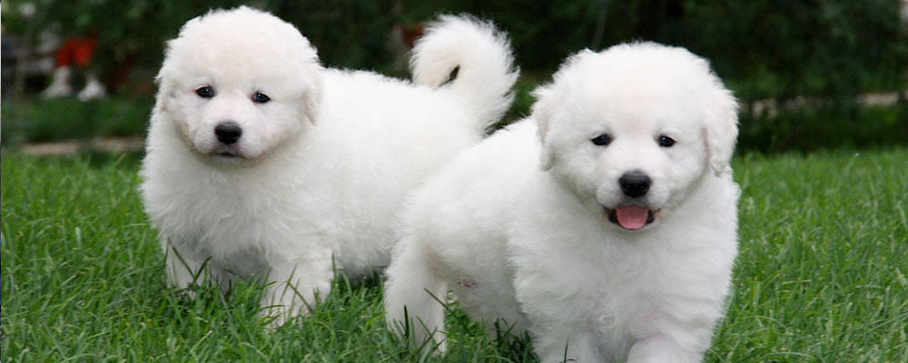 kuvasz dog - low maintenance dogs that are good with kids