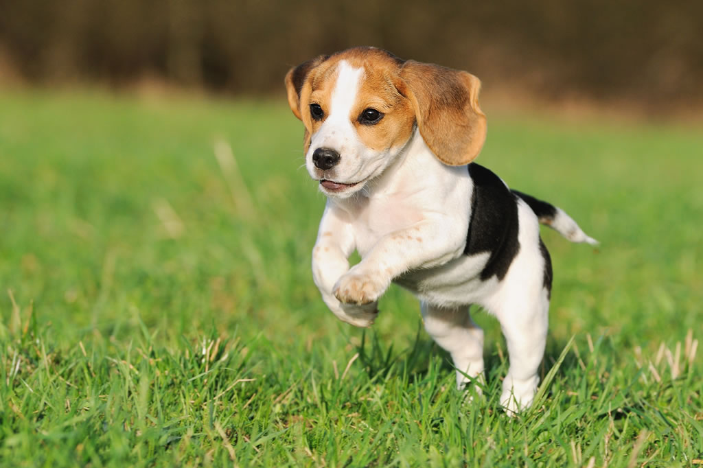 beagle dog breed - low maintenance medium dogs