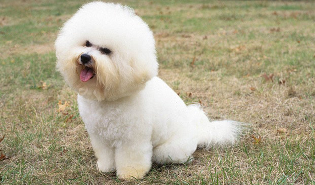 bichon frise dog breed - low maintenance dogs that don't shed