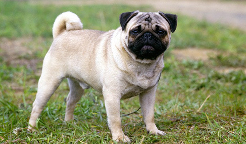 pug dog - best low maintenance dogs