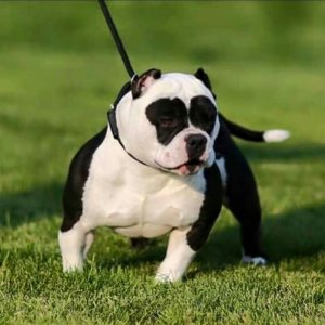 American_bully_hd_photo