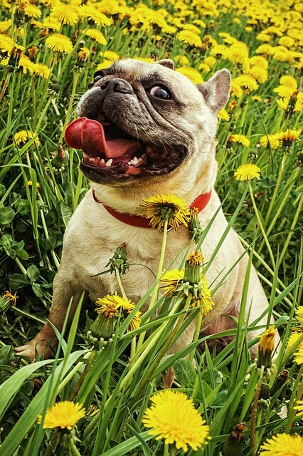 Bulldog_characteristics