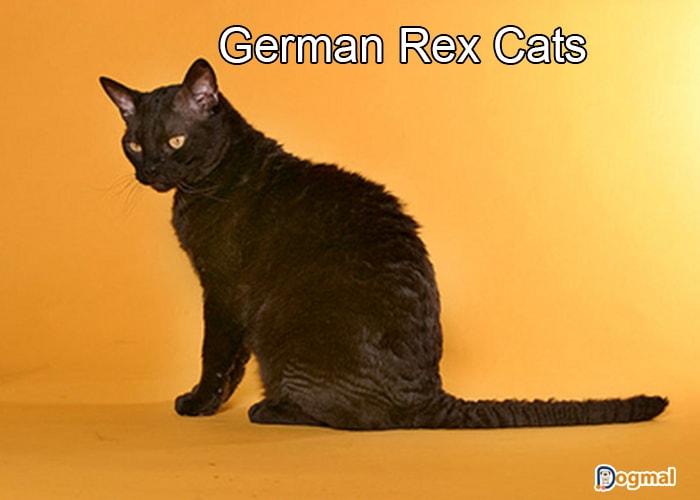 german rex cats