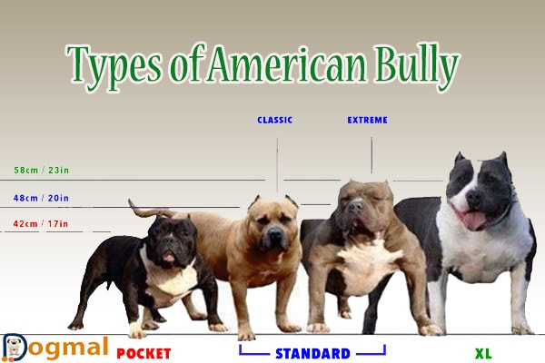 American Bully Dog Characteristic Appearance And Picture