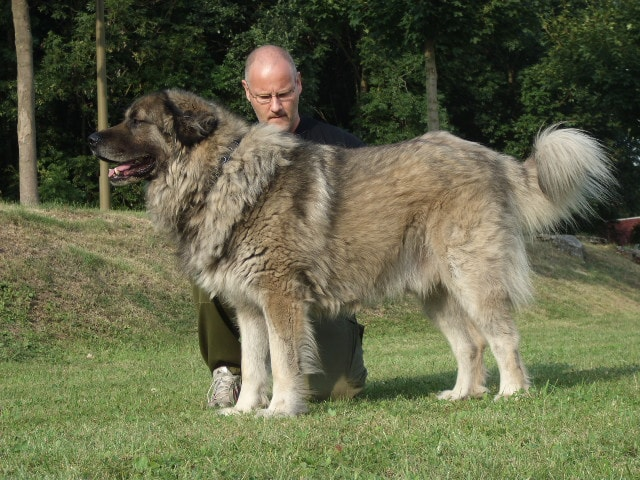 Caucasian Shepherd dog breed