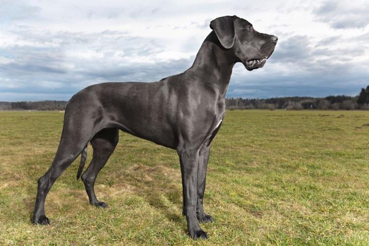 Great dane dog breed