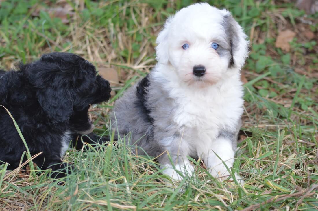 Sheepdoo puppies photo