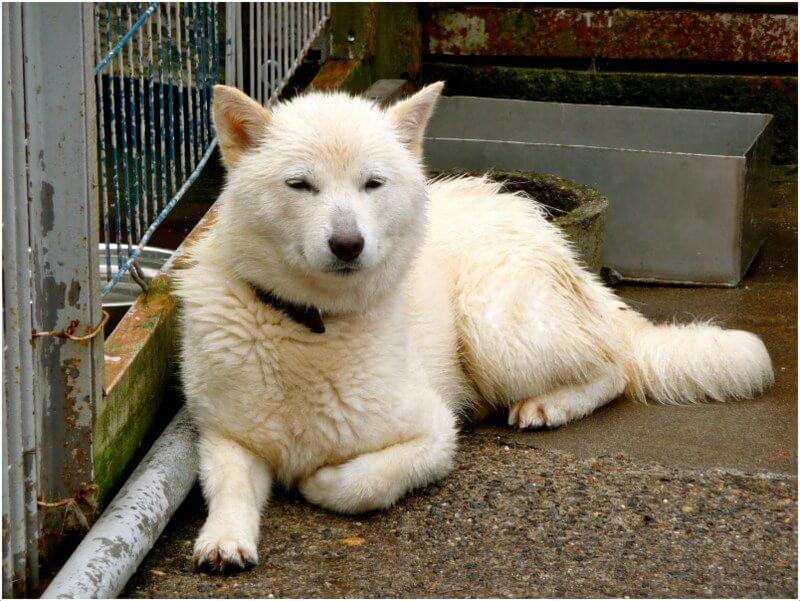 japanese hokkaido dog