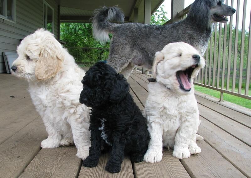 moyen poodle california