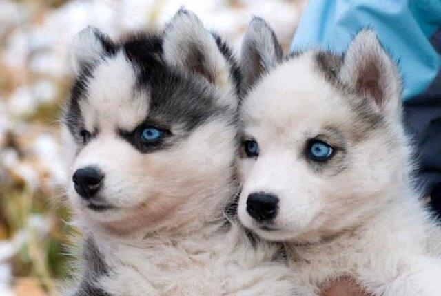 pomsky dogs photo