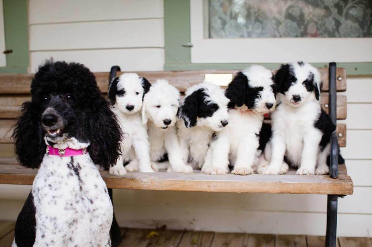 Sheep-A Poo puppies