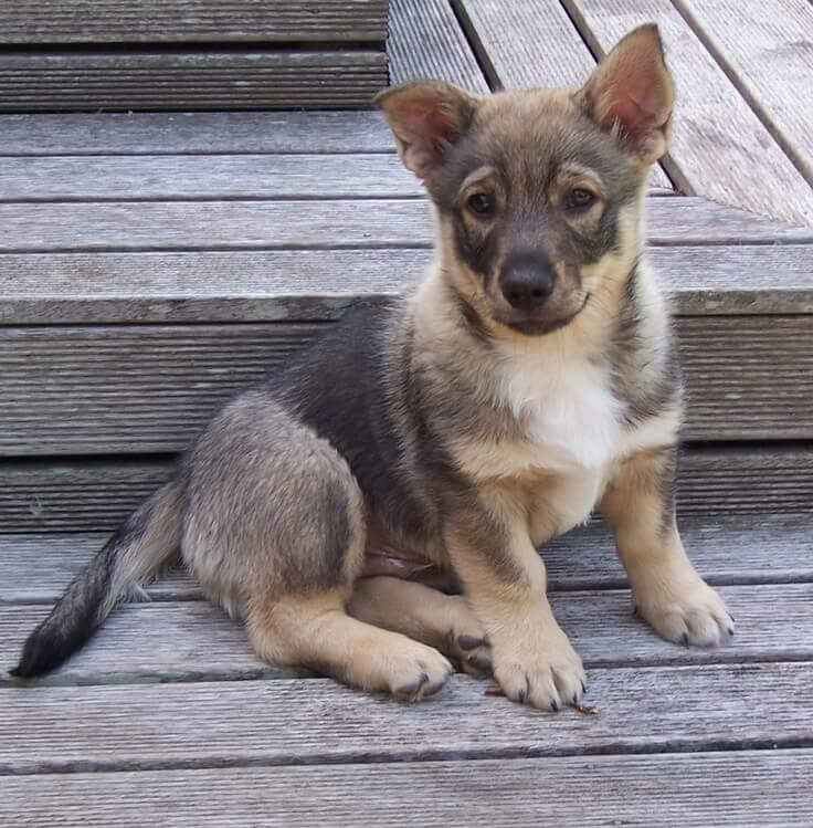 Crogi shepherd mix puppy