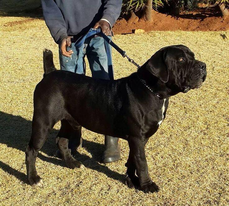black boerboel breed