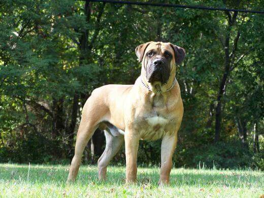 boerboel breed