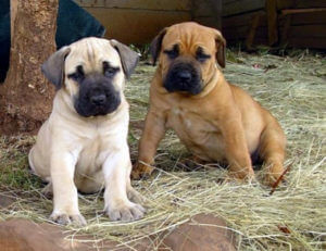 boerboel puppy training
