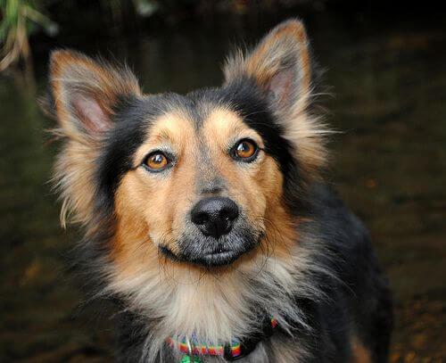 corgi shepherd mix puppy photo