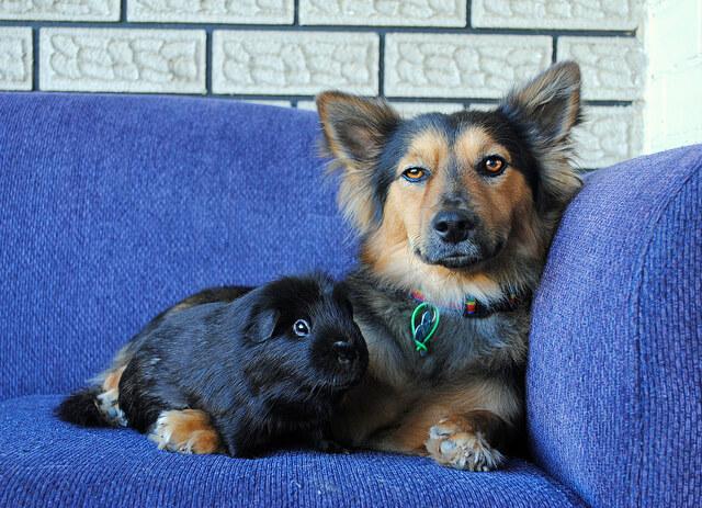 corgi shepherd mix puppy