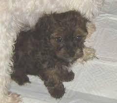 scoodle puppy photo