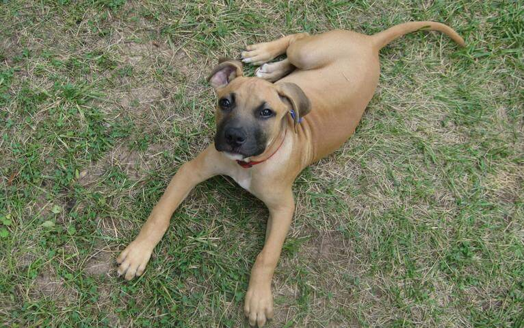 American Black Mouth Cur
