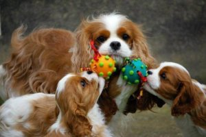 Cavalier King playnig