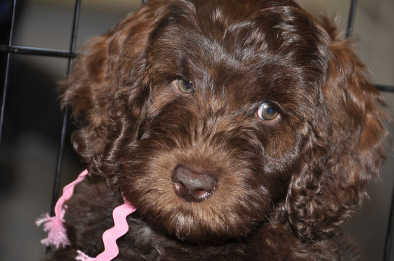 Midwest Labradoodle