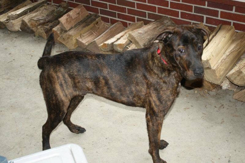 Mountain Cur Dog Pictures