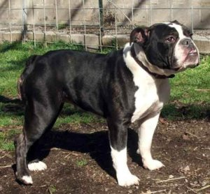 adopt a victorian bulldog