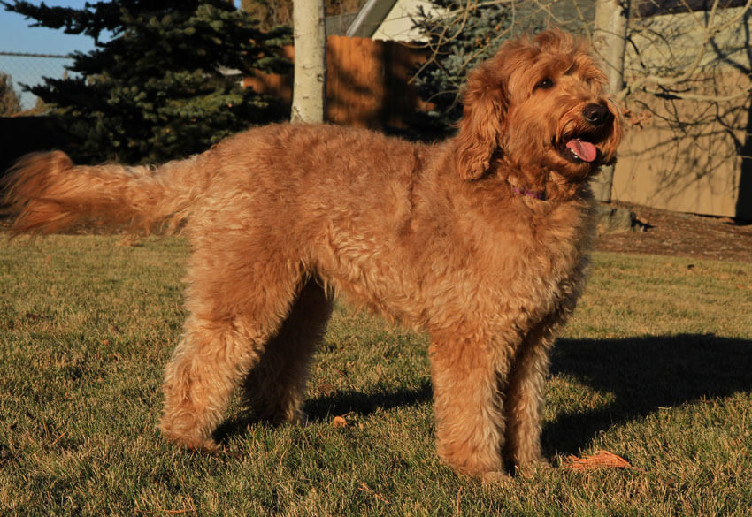adults labradoodle photo