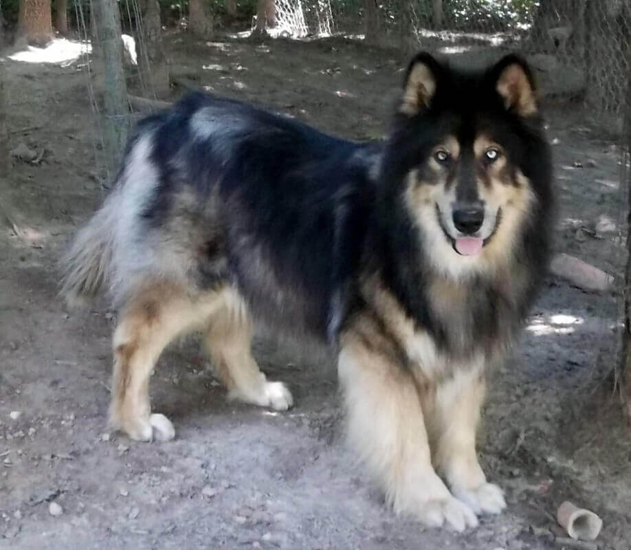 Native American Indian Dog Character, Appearance And Pictures