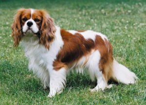 cavalier dog breed