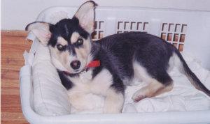 corgi husky crate training