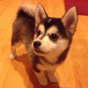 Corgi Husky Mix Information