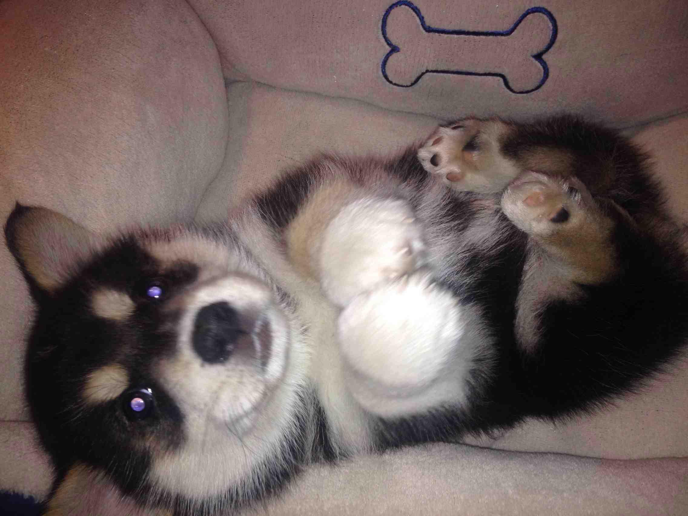 corgi-husky-mix-puppy