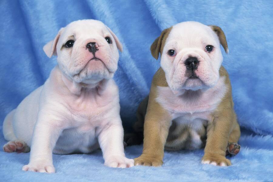 cute victorian puppies hd photo
