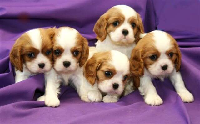 cute cavalier puppies