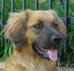 golden shepherd dog pictures