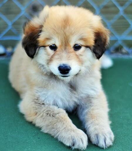 golden shpherd cute puppy photo