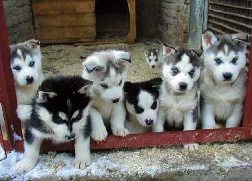 husky corgi mix puppies photo