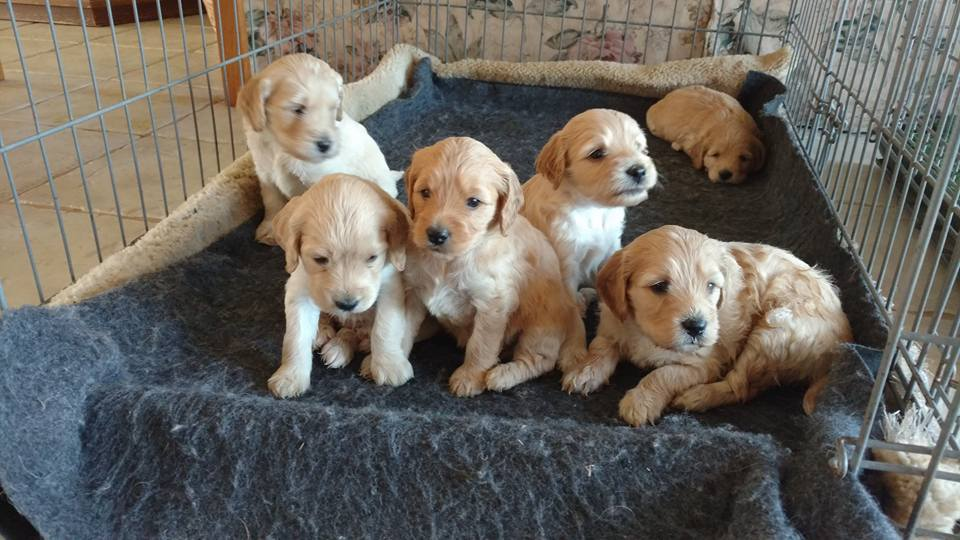 labradoodle puppies crate training