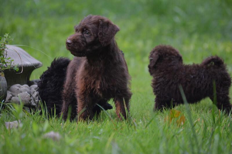 labradoodle puppy photo