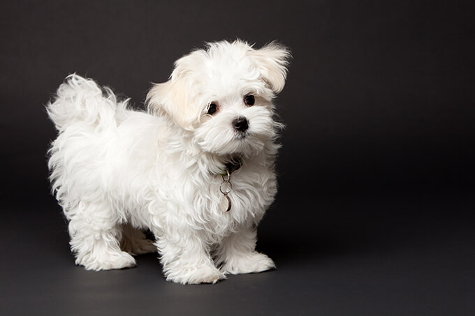 maltese puppy pictures