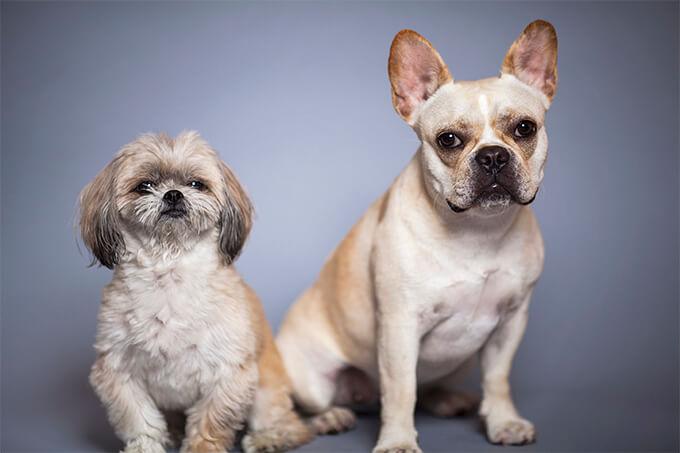 peekapoo dog breed