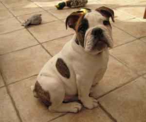 victorian bulldog puppy photo