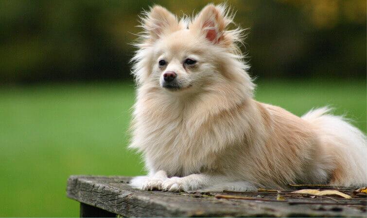 Pomeranian Cutest Dog Breeds