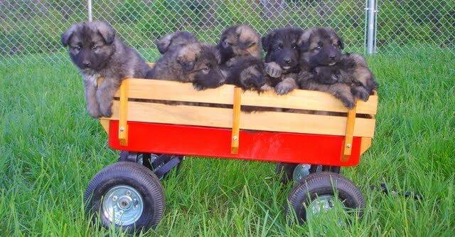 Shiloh Shepherd Puppies