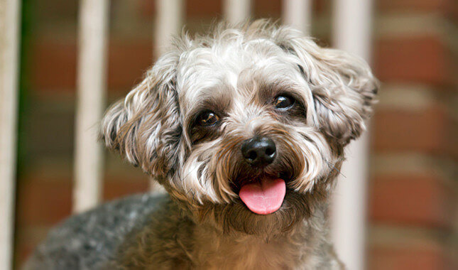 Yorkipoo hybrid dog