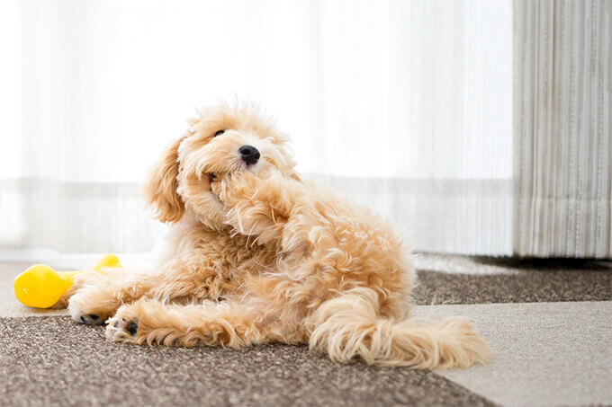 maltipoo puppies for sale in texas