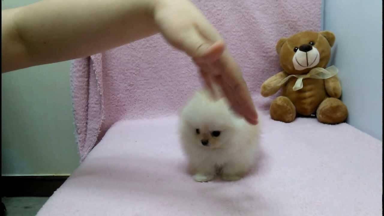 micro pomeranian puppy photo